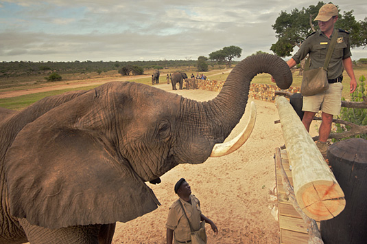 Daily Elephant Interaction Camp Jabulani The First Meeting Kapama Private Game Reserve Greater Kruger South Africa