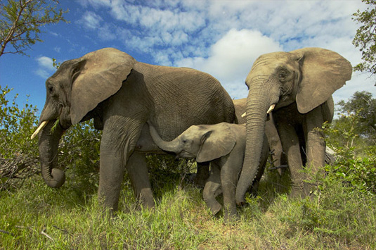 Elephant sightings Big 5 Wildlife Camp Jabulani Kapama Greater Kruger