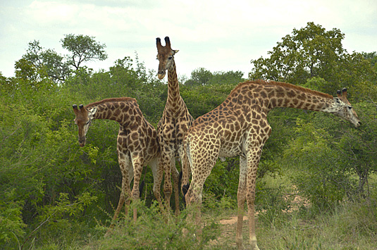 Big 5 Wildlife Giraffe Camp Jabulani Kapama Greater Kruger