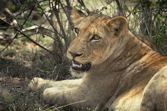 Lion sightings Big 5 Wildlife Camp Jabulani Kapama Greater Kruger