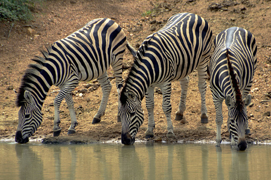 Big 5 Wildlife Zebra sightings Camp Jabulani Kapama  Greater Kruger