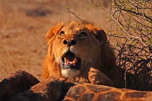 Lion - Kruger National Park Accommodation Bookings